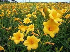 金娃娃萱草怎么种植?金娃娃萱草种子播种方法