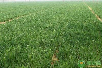 新疆无膜棉配套栽培技术初步成熟