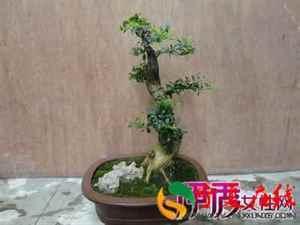 小叶黄杨盆景怎样制作?盆栽小叶黄杨的种植方法