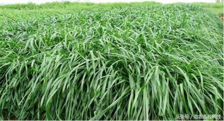 南方种什么牧草产量高?适合南方种植的牧草