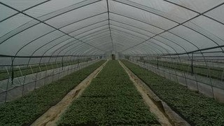 棉花营养钵育苗技术