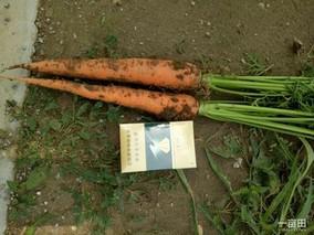 河北省柏乡县:小小胡萝卜做成大产业