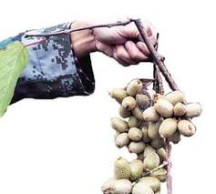 金华磐安极速5分排列3用奶粉浇灌猕猴桃