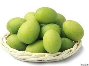 油橄榄嫁接砧木选择