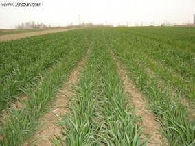 小麦冬春死苗预防方法