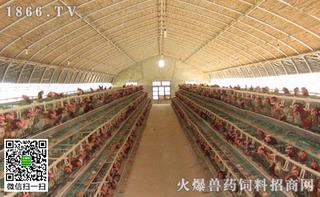 塑料大棚养鸡技术