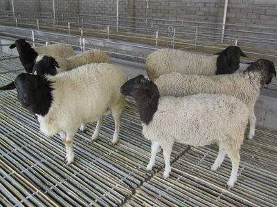 波尔山羊引种初期的管理