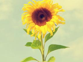 向日葵什么时候开花?向日葵的花期时间
