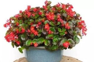 四季海棠播种到开花的全纪录, 怎么种才容易开花?