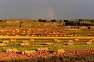 乌兰察布莜麦
