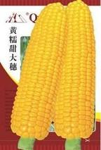 杂交玉米种储藏技术