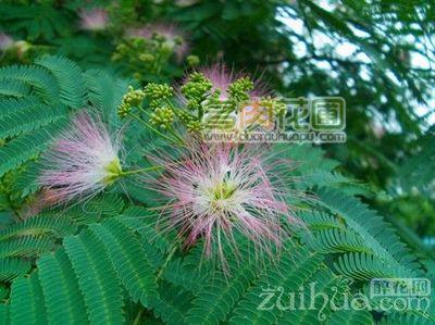 紫叶合欢树怎么繁殖?合欢树的繁殖技术