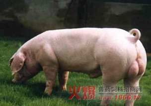 养猪不能滥用磺胺药