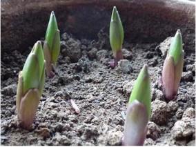 百合花籽怎么种植?百合种子种植方法