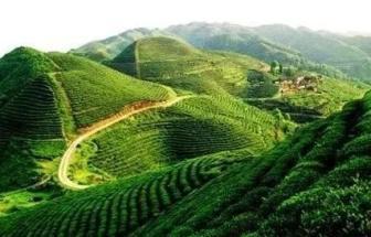 茶叶已成为贵州*大出口农产品