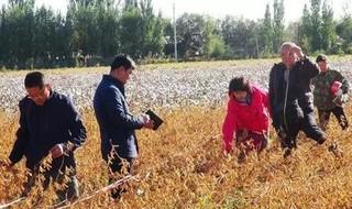 亩产304.8公斤 新疆夏播大豆高产新纪录诞生