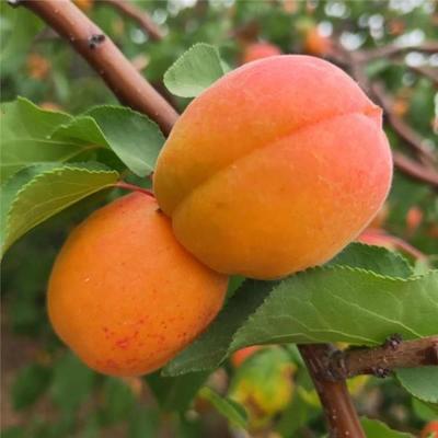 河北省培育出极早熟杏新品种