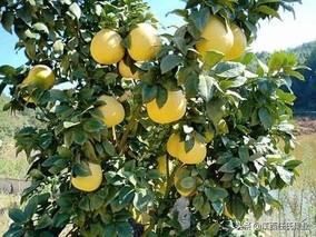 黎川•抚州胭脂柚产业推广活动掀热潮
