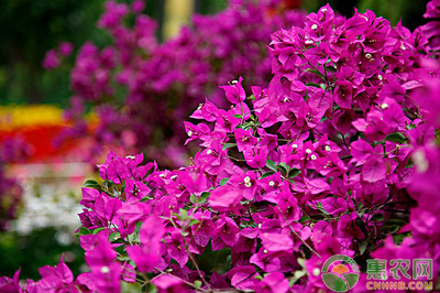 三角梅的春季如何?春季盆栽三角梅的养殖方法