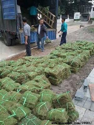 种植草坪一年收几次?一般农田可以种草皮吗?