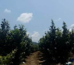 哈尔滨:大学生回乡种了300亩大果榛子