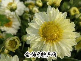 杭州杭白菊