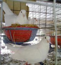 肉鸽的饲养管理