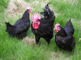 重庆黔江区绿壳蛋鸡为贫困户打开致富门