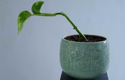 绿萝种植用什么土壤?绿萝种植方法介绍