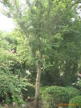 雪松树苗种植方法