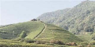杭州龙坞的西湖龙井茶全面开采