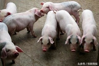 为什么一些散养户的猪病很难治愈