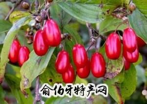 佛坪山茱萸