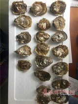 我国科学家养殖近江牡蛎成功