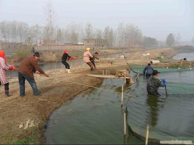 成鱼捕捞-排水捕捞法