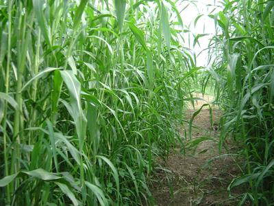 苏丹草什么时候开花?苏丹草年产量是多少?