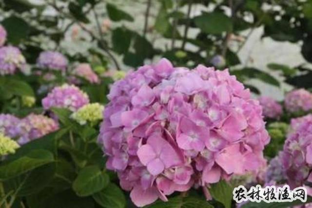 绣球花无尽夏夏季怎么浇水?