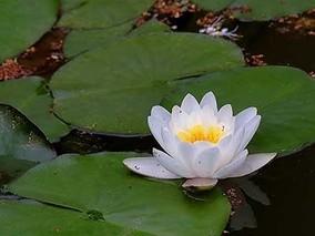 杭州睡莲悄悄绽放 七叶树花繁盛 赏心悦目