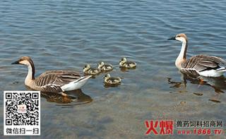 大雁种蛋的人工孵化需注意