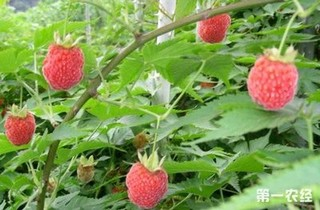树莓怎么种植?家庭树莓种植方法