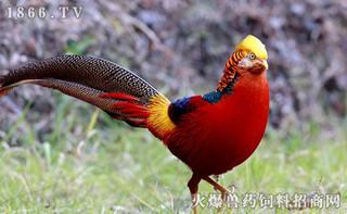 春季红腹锦鸡育雏期的饲养管理要点