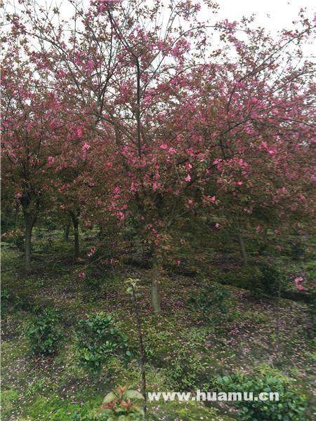 紫花海棠枝条能活吗?海棠插枝能活吗?