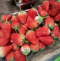 草莓适合几月份种植?草莓种植时间方法