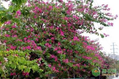 宫粉紫荆繁殖方法