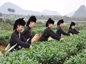 龙州乌龙茶