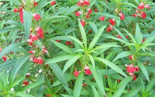 凤仙花的栽培及控制花期