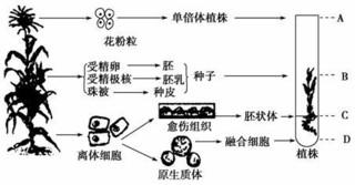 水仙[图]的功效与作用