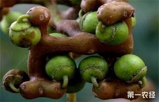 拐枣的种植技术和条件