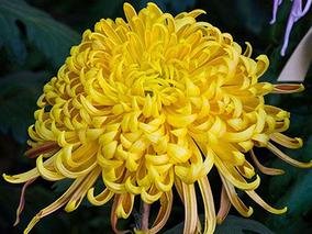 昆明菊花价格上涨