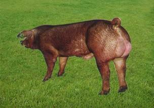 华中农大:持续20年举办种猪拍卖 为养猪业增效90亿元